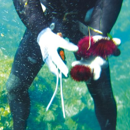 oursin de mer 2