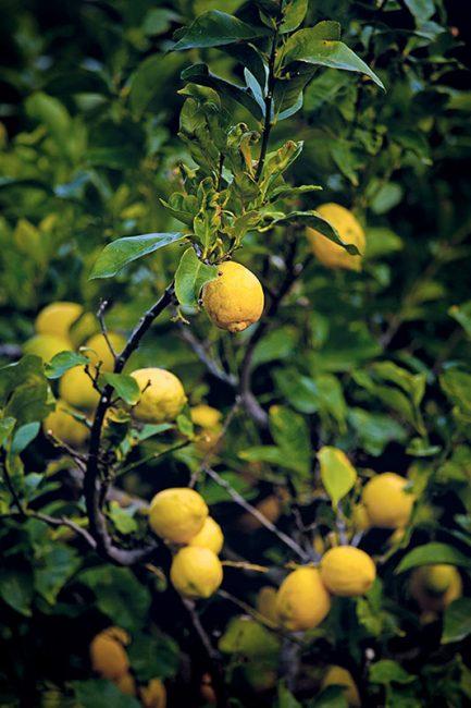 les citronniers de Balagne