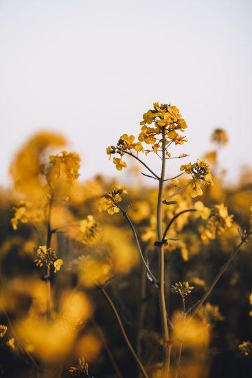 fleurs colza