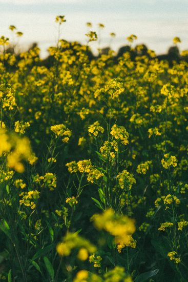 fleurs de colza