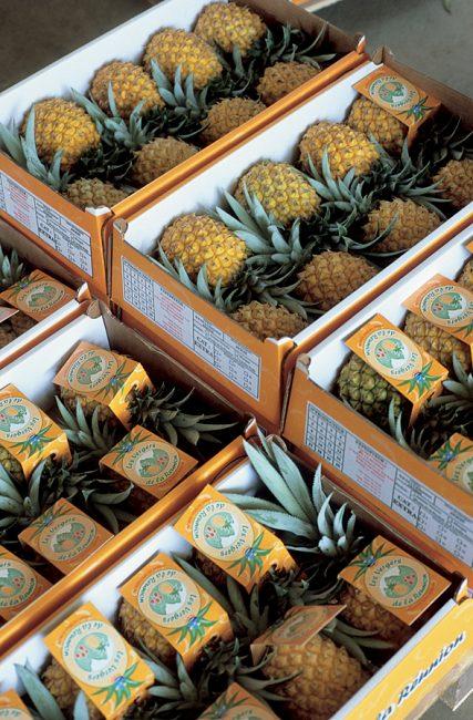 culture de l'ananas victoria
